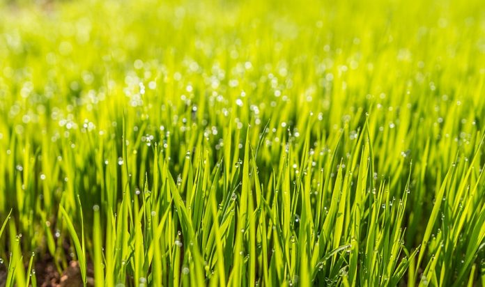 frequent watering for lawn maintenance